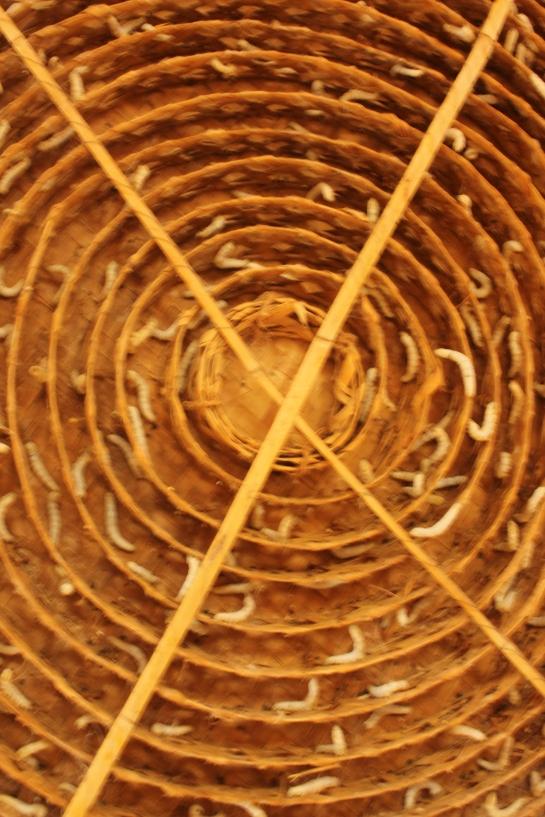 Silkworms in a chakri