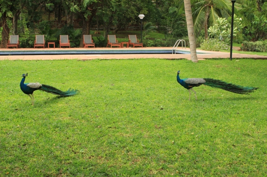 Peacocks on the lawn