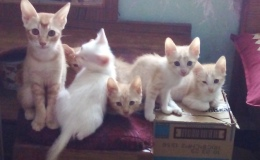 Two-month-old kittens for adoption,Bangalore